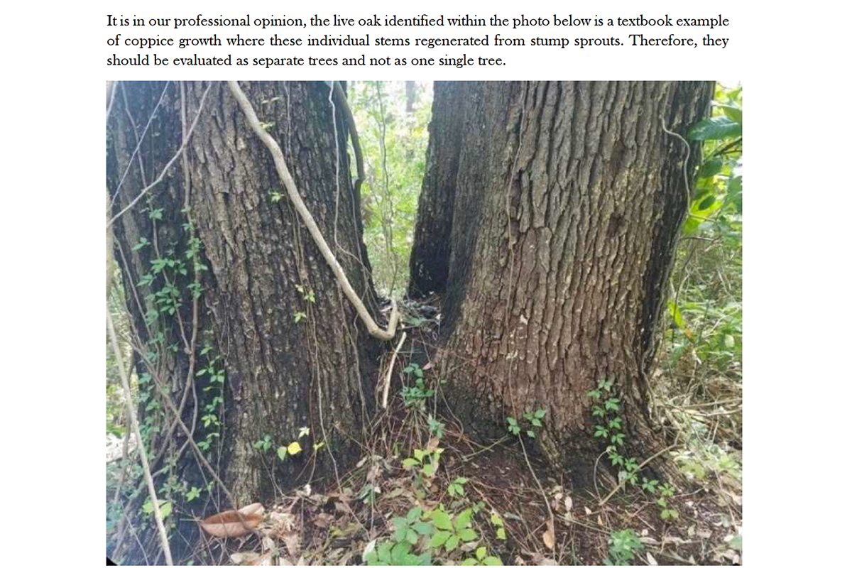 The conclusion of the consultant's report was that the oak was two individual trees that sprouted from a stump. (Courtesy/New Hanover County)